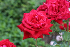 Beautiful roses in the garden. Flowers / Beautiful roses in the garden Royalty Free Stock Image