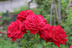 Beautiful roses in the garden. Flowers / Beautiful roses in the garden Stock Photo