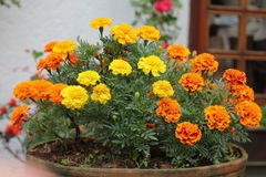 Flowers. Beautiful flowers in a small village Royalty Free Stock Image