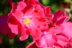 Flowers beautiful spray roses in the summer park royalty free stock photography