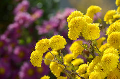 Flowers. Beautiful yellow flowers blooming in the garden royalty free stock photos