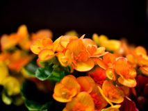 Flowers. Beautiful yellow and red flowers, lush green leaves Royalty Free Stock Photos