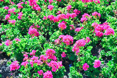 Flowers. Beautifull flowers blooming in plain daylight Royalty Free Stock Image