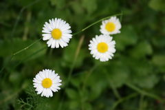 Flowers. Beauty of a simple flower Royalty Free Stock Images
