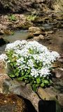 Flowers in the bed of the mountain of the mountain river of the North Caucasus. stock photo