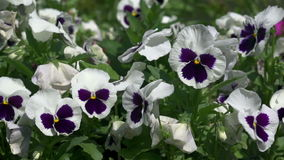 Flowers on a bed of pansies stock video footage