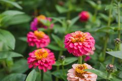 Flowers on a bed. Red, orange flowers in a garden. Stock Images