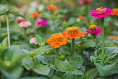 Flowers on a bed. Red, orange flowers in a garden. Stock Photos