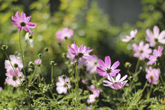 Flowers on a bed. Simple and lovely flowers under the sun in the morning, illuminate pink petals Stock Image
