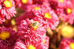 Flowers and bee. Pink flowers and a bee in sunlight Royalty Free Stock Photo