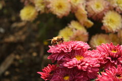 Flowers and a bee. Pink and yellow flowers and a bee Stock Photos