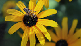 Flowers bee background - Spreading Pollen On A Young Autumn Sun Co Stock Photos