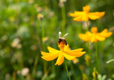 Flowers and bees. Royalty Free Stock Images