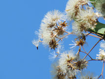 Flowers begin to dry on the tree with blue sky. Stock Photos