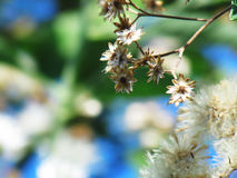 Flowers begin to dry on the tree. Royalty Free Stock Photography