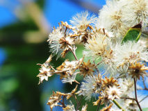 Flowers begin to dry on the tree. Royalty Free Stock Photo
