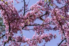 Pink crabapple blooming in the spring sunshine. Flowers beginning to bloom. Bright blue in the background. Rochester, New York stock photos