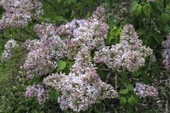 Pink lilacs blooming in the spring. Flowers beginning to bloom. Green leaves in the background. Rochester, New York stock photos