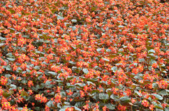 Flowers begonia. Begonia is a flower of extraordinary beauty Stock Photo