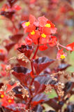 Flowers begonia. Begonia is a flower of extraordinary beauty Stock Photography
