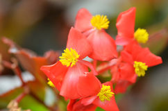 Flowers begonia. Begonia is a flower of extraordinary beauty Stock Image