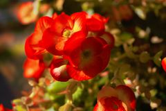 Flowers. Begonia flowers in the window Royalty Free Stock Photo