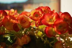 Flowers. Begonia flowers in the window Royalty Free Stock Photography