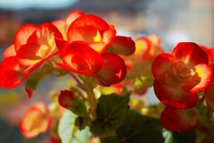 Flowers. Begonia flowers in the window Stock Photos