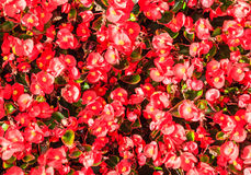 Flowers begonias. Background Royalty Free Stock Photos