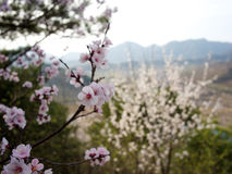 Flowers in Beijing. A blossom in Beijing's Spring Royalty Free Stock Photos