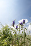Flowers being polinated. Violet flowers being pollinated by a bee Stock Images