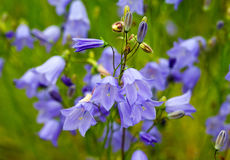Flowers bell closeup Royalty Free Stock Image