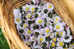 Flowers Bellis in a basket. Basket bellis with flowers. Knitted basket with fresh medicinal flowers. The plant originates from Europe and the Mediterranean Stock Image