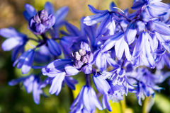 Flowers bells. Blue purple flower bells background Royalty Free Stock Image