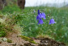 Flowers bells Stock Images