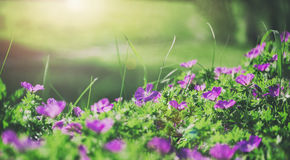 Flowers bells of the field background. Spring landscape royalty free stock photos