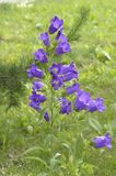 Flowers bells. wild nature. Russia. Siberia royalty free stock image