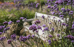 Flowers and a bench in the garden. This image shows some violet flowers and a bench among them. It was taken at the Kew Gardens in London Stock Photo