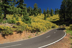 Flowers beneath Canary pines on La Palma Stock Photos