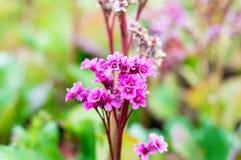 Flowers of Bergenia cordifolia Purpurea Royalty Free Stock Image