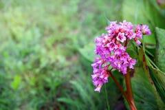 Flowers  bergenia Royalty Free Stock Image