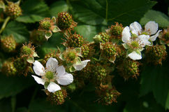 Flowers and berries. Blackberry on a sunny day Stock Photography