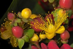 Flowers and berries Royalty Free Stock Photo