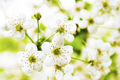 Flowers berry fruit trees. Flowers berry fruit trees bloom in early spring royalty free stock photography