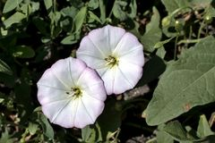 Flowers of bindweed, a plant with the Latin name of Convolvulus, macro royalty free stock images