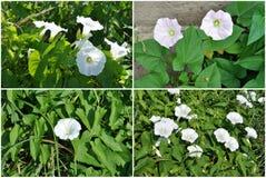 Flowers, bindweed, set Royalty Free Stock Image