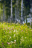 Flowers in a birch forest Royalty Free Stock Photography