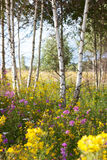 Flowers in birch trees Stock Photo