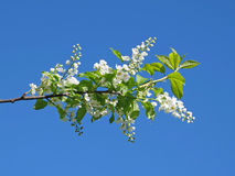 Flowers of bird-cherry Stock Photos
