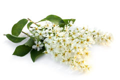 Flowers of a bird cherry with leaves Royalty Free Stock Photo
